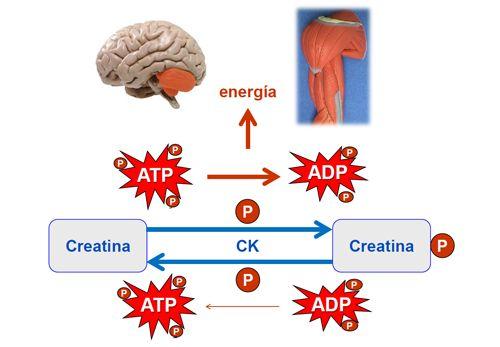 efectos secundarios de la creatina